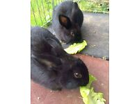 2 black rabbits for sale