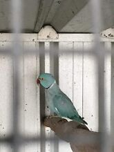 breeding pair of blue ringnecks Macquarie Fields Campbelltown Area Preview