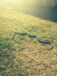 Jungle/coastal python x 2 Somerset Area Preview
