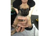 8 Gorgeous pug x puppies