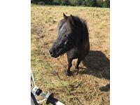 Shetland Pony (Companion)