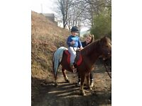12hh pony for long term loan or sale