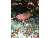 found ginger cat in stalham