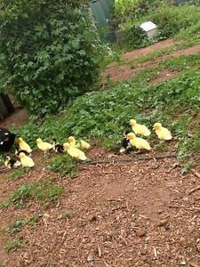 Ducklings muscovy Gawler South Gawler Area Preview