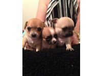 Stunning Chihuahua Puppies for sale.