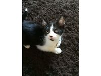 Good Home Wanted for Black/ White Kitten 9 weeks old