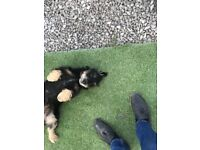 Girl Dog for sale