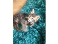 STUNNING Fluffy/Long haired Male Kitten
