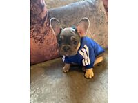 French bulldog puppy 8 week old