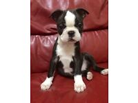 **READY NOW. QUALITY BRED BOSTON TERRIER FEMALES""