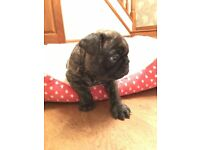 French Bulldog Puppies for Sale, 2 x brindle dogs, 1 x fawn bitch