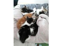 Pair of Friendly Lovable Male Kittens