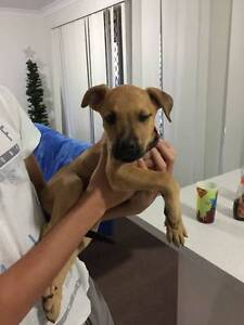 ADOPT TUCK - MALE MASTIFF X - Desexed, vaccinated, microchipped Ipswich Ipswich City Preview