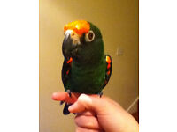 Jardine's/Red-fronted Parrot