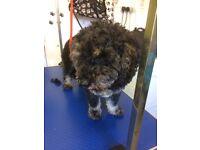 Looking Ruff Dog Groomer based in Rhu