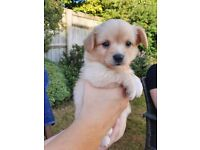 Papillon x Chihuaua Puppies for Sale