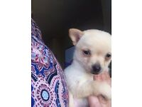 pomchi puppy dad is chihuahua mum is pomerainian