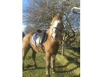 Palomino Gelding Horse/Pony 14hh