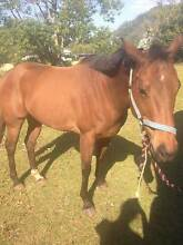 TRAIL HORSE FOR SALE Brinsmead Cairns City Preview