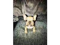 Pedigree French Bulldog