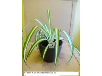 Spider Plant in Vase & Various Other House Plants