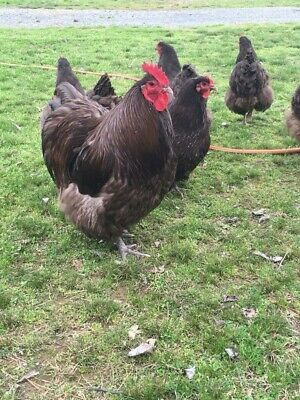 Chocolate English Orpington 14 Fresh Hatching Eggs Npip