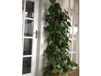 Large ivy plant 5 ft 2 looking for a new home