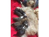 Crossbreed puppies for sale