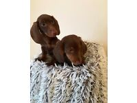 FOR SALE Gorgeous litter of dachshund puppies