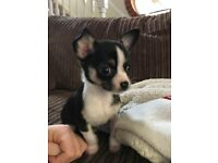 Black/White Chihuahua Puppy for Sale