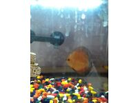 2 discus. For sale if you buy the two discus we will give you some free fish