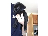 Jug Puppies (Jack Russell / Pugs) - Available for re-home now.