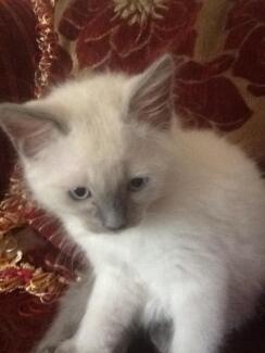 rugdoll kitten