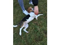 Gorgeous 7 Month Male Beagle - Fully set up, no need to buy anything else for him