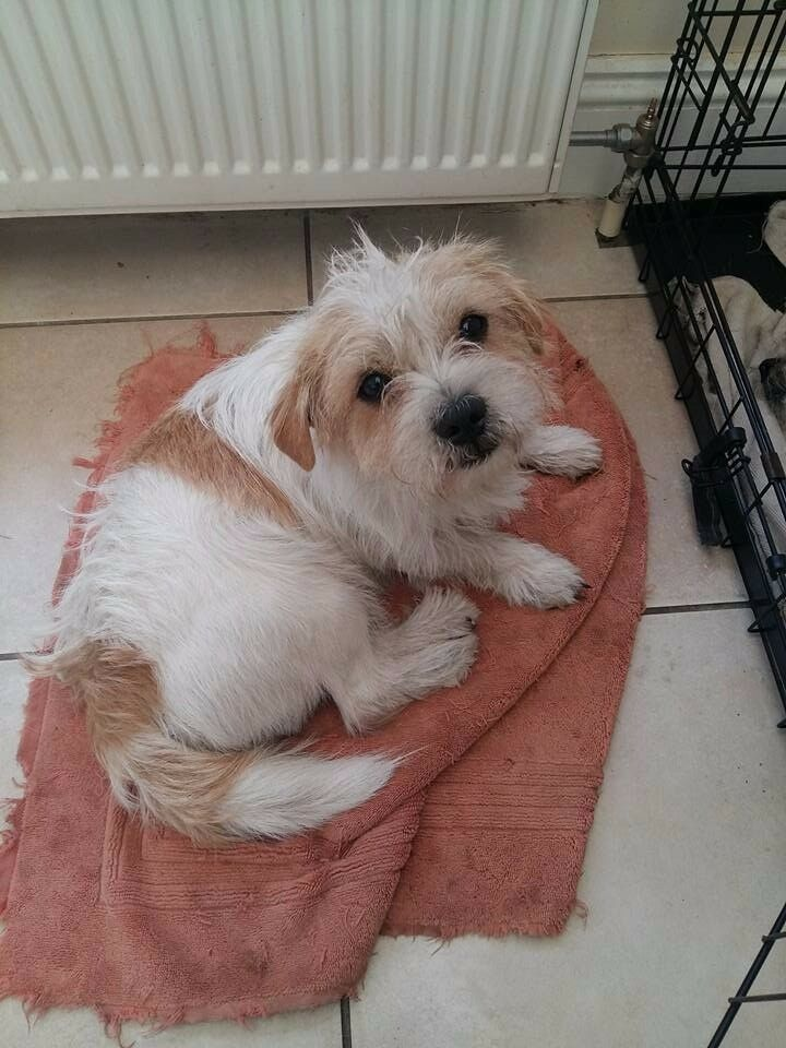 2 X Jack Russell Shih Tzu Cross 1 Year Old Male In