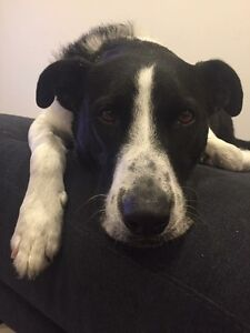 """LOST DOG - """"Cooper"""" PLEASE HELP! Spotswood Hobsons Bay Area Preview"""