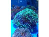 MARINE FISH / RIGHT THIS IS THE LAST MASSIVE AUSTRALIAN TORCH CORAL OVER 20+ HEADS