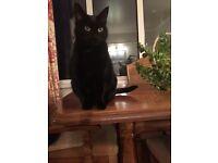 MISSING BLACK CAT- BROUGHSHANE ROAD, FISHERWICK AREA.