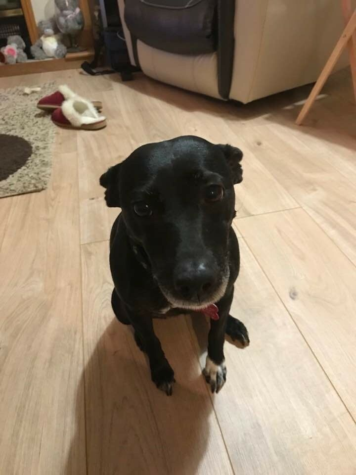 loverly 5yr old patterdale terrier