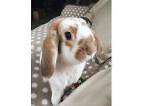 2 male rabbits + double story hutch + run