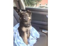 German Shepherd puppies £400