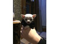 Chihuahua puppy kc registered