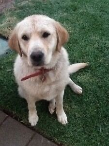 Dog sitter wanted for 1 year old Labrador Retriever 6-16 Jan 2017 Campbelltown Campbelltown Area Preview