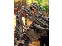 baby bearded dragons males females can be delivered