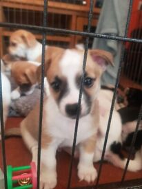 Jack Russell x Chihuahua (Jack chi) pups for sale. 4 left.
