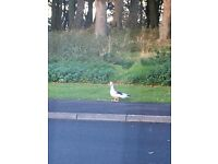 Lost Black and White Muscovy Pet Duck - Ballycarry