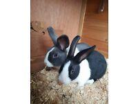 2 male rabbits