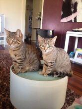 2 kittens for sale Woodridge Logan Area Preview