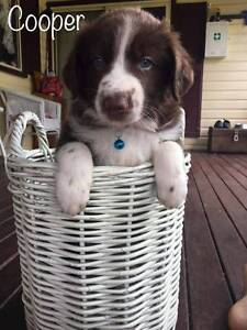 border collie puppies 4 sale Nambucca Heads Nambucca Area Preview