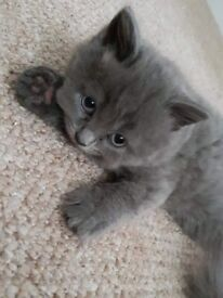 British blue longhair kittens for sale!